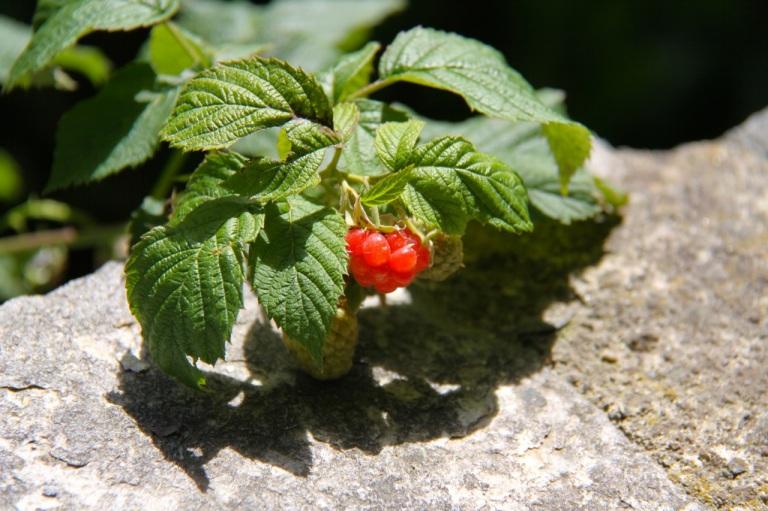 sommerbringebær